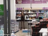 Łoś wbiegł do sklepu w Sokółce