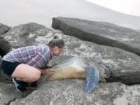 Żółw utknął między kamieniami