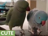 Rozmowa Dwóch Papug