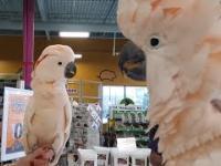 Dwie papugi spotykają się w zoologicznym