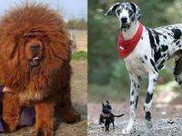 10 największych psów na świecie - Niewątpliwie Ciekawe