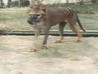 Tygrys tasmański (koloryzowane)