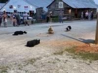 Psy pasterskie demonstrują swoje umiejętności na targach