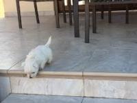 Szczeniaczek po raz pierwszy w życiu mierzy się ze schodami