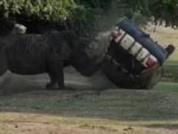 Nosorożec atakuje i przewraca samochód w parku Serengeti