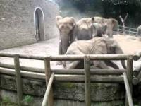 Walka słoni w Zoo w Wuppertalu