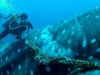 Rekin wielorybi współpracuje z ratującym go nurkiem