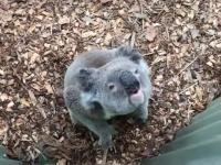 Jaki dźwięk wydaje koala