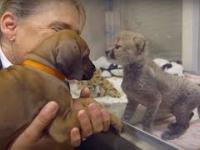 Pies i gepard spotkali się w dzieciństwie. Po dwóch latach te zwierzęta są dalej...