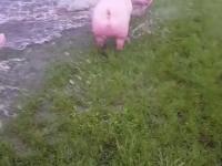 Świnki na wolnym wybiegu wyglądają na całkiem szczęśliwe