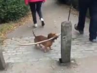 Mały psiak walczy z wielkim patykiem