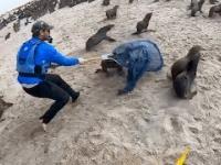Uwolnienie fok z sieci rybackich