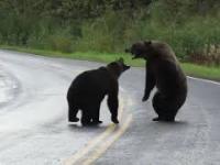 Walczące niedźwiedzie grizzly