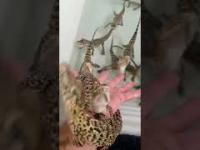 Głos krokodylka
