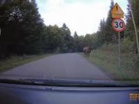 Żubry na drodze w Bieszczadach