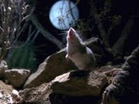 Mysz odważna, bardzo agresywna