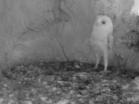 Młoda sowa