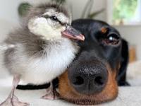Jamniczek z nowym przyjacielem kaczuszką