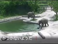 Dwa słonie uratowały tonące słoniątko