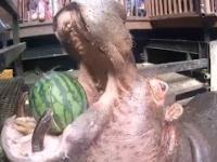 Hipopotam wcina arbuza