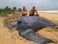 Największy na świecie żółw morski znaleziony na plaży