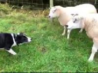 Border Collie zagania owce do zagrody