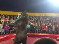 Niedźwiedź atakuje swojego trenera w cyrku