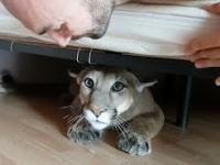 Rosja: Życie z udomowioną pumą