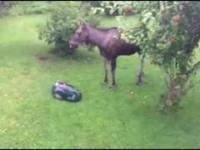 Łoś zostaje przyłapany na kradzieży jabłek