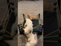 WrestleMania z kociakami