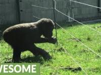Goryl próbuje pokonać ogrodzenie pod napięciem