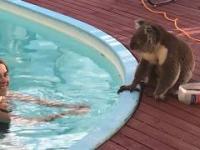 Koala przyszła napić się wody z basenu