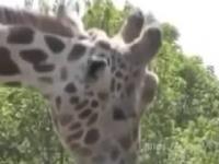 Jaka ładna żyrafa