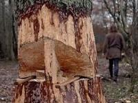 Jak wikingowie ścinali wielkie drzewa?