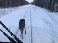 Szalony łoś droczy się z pociągiem