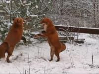 Reakcja lisów na pierwszy śnieg