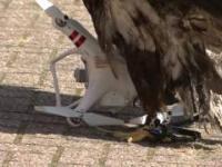 Holenderska policja trenuje orły do ściągania dronów