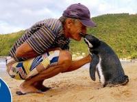 Ten pingwin pływa 5000 mil rocznie, aby odwiedzić człowieka, który go uratował