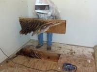 Usuwanie gniazda pszczół, które znajduje się pod podłogą w domu