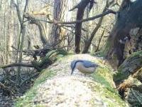 Kowalik - jedyny w Europie ptak chodzący głową w dół