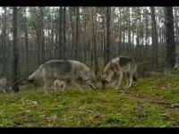 Siedem wilków, polowanie na mysz.