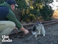 Pan znalazł wałęsającego się młodziutkiego husky