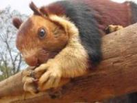 Wiewióra dekańska - największa wiewiórka świata