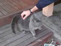Ciekawa reakcja kota na głaskanie
