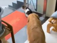 3 bardzo posłuszne goldeny retrievery i kot tachany za fraki
