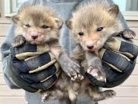 Znalazł kryjówkę lisa a w niej małe szczeniaczki