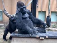 Mały goryl chce się bawić z swoim tatą