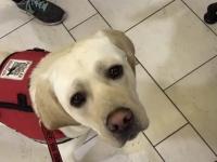 Labrador wybiera swojego pluszaka w sklepie zoologicznym