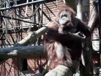 Ten Orangutan uczył polskich posłów zakładać maseczki