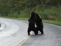 Niesamowity widok niedźwiedzi grizli walczących ze sobą na drodze